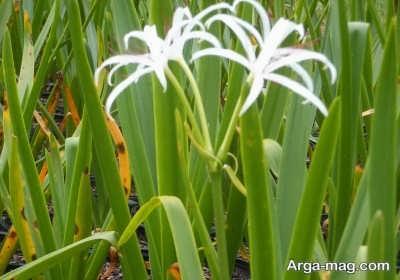 گل برگ موزی و پرورش آن