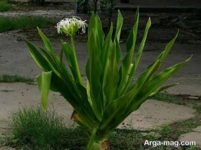 نحوه رشد و پروراندن گل برگ موزی