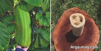 معرفی خواص درمانی گیاه لوفا