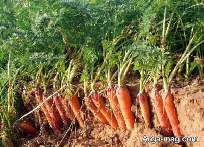 راهنمای کاشت زردک در باغچه یا گلدان و پرورش و برداشت این گیاه