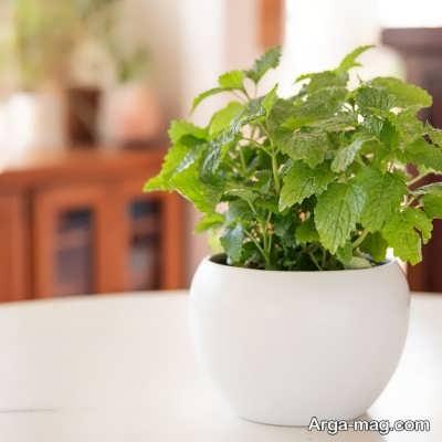 راه های مختلف کاشت گیاه بادرنجبویه