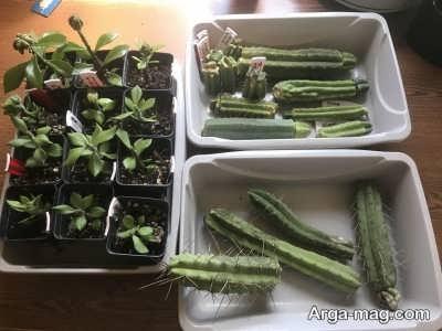 وسایل لازم برای تکثیر گیاه کاکتوس