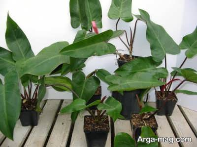 برگ های قهوه ای و شکننده گیاه پنجه غازی به چه علت تشکیل می شود؟