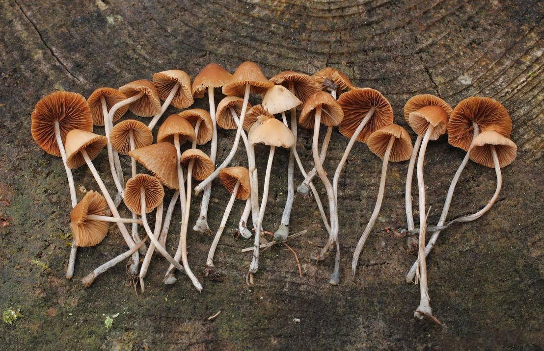 مضرات و خواص قارچ جادویی