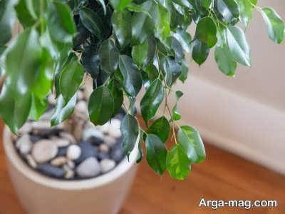 چگونگی کاشت گیاه بونسای فیکوس