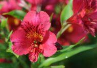 آشنایی با نحوه پرورش گل آلسترومریا