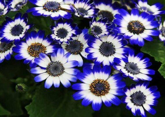 آشنایی با پرورش گل سینره