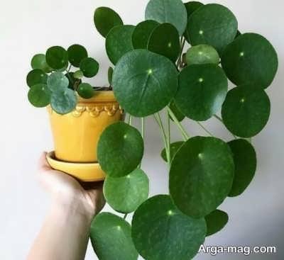 پرورش گیاه سکه ای