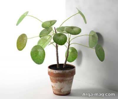 نحوه کاشت گیاه سکه ای چگونه است؟