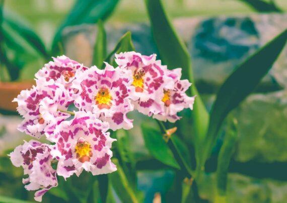 آشنایی با نحوه پرورش گل ادونتوگلوسم