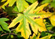 آشنایی با علل تغییر رنگ برگ ها