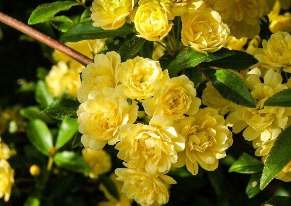 آشنایی با گل رز آبشار طلایی