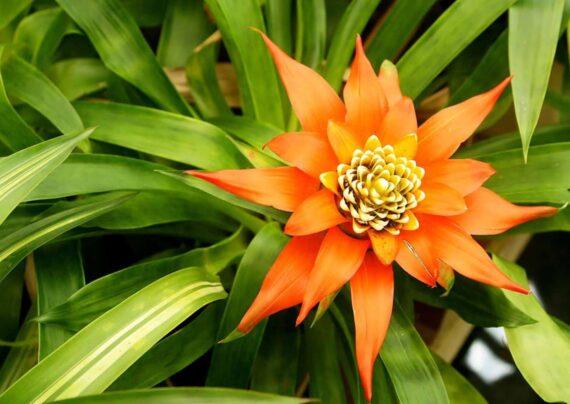 آشنایی با پرورش گل وریزیا