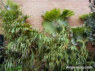 اصول کوددهی گیاه شاخ گوزنی