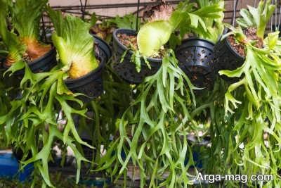 چگونگی پرورش گل شاخ گوزنی