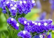 پرورش گل زنبوری