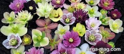 پرورش و نگهداری از گل خربق در خانه