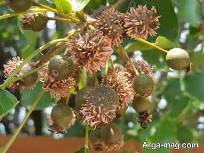 استفاده از میوه سدار برای درمان پانکراتیت