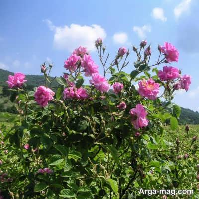 چگونگی افزایش گلدهی گل محمدی