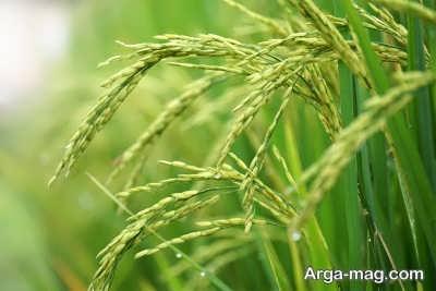 تفاوت بین شلتوک و سبوس برنج