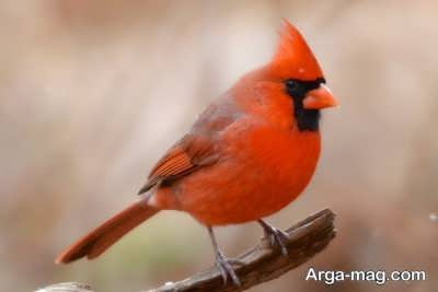 تغییر جنسیت پرنده سرخ
