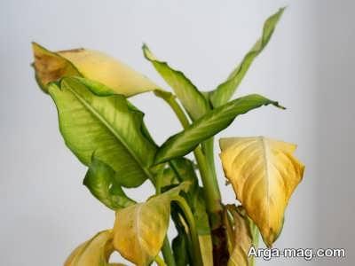 دلیل زرد شدن برگ گیاهان آپارتمانی و گیاهان فضای باز چیست؟
