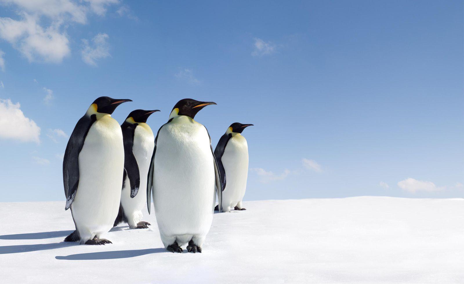 آشنایی با علت یخ نزدن پنگوئن ها