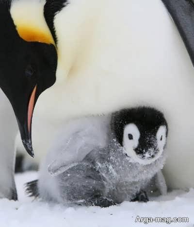 علت یخ نزدن پنگوئن ها چیست؟