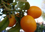 آشنایی با چگونگی کاشت هسته پرتقال