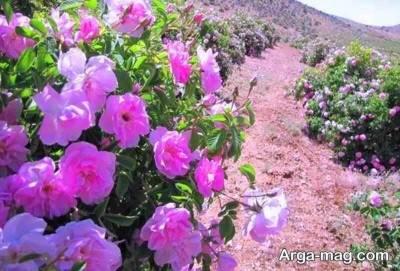 بهبود گوارش با مصرف گل محمدی