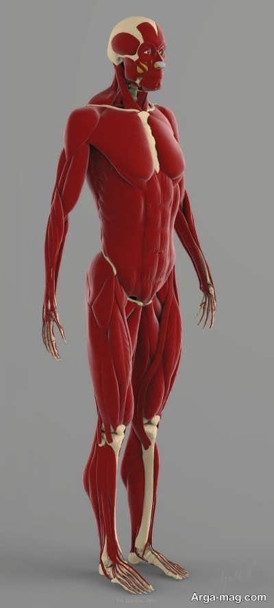 عملکرد عضلات بدن انسان
