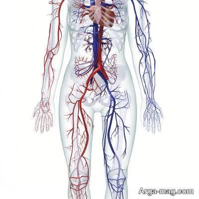 شناخت فیبر های تشکیل دهنده عضلات