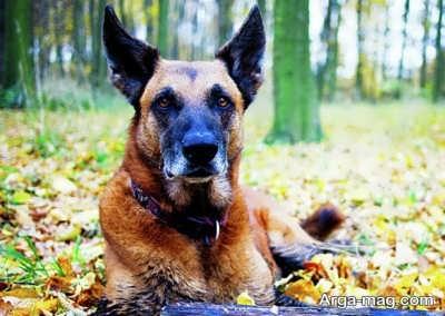 روش درمان گازگرفتگی سگ