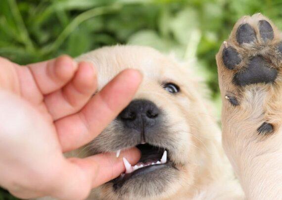 درمان برای گازگرفتگی سگ
