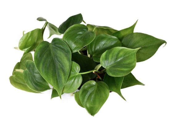 آشنایی با نحوه پرورش گیاه فیلندرون