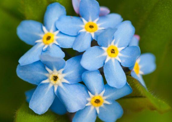 آشنایی با نحوه پرورش گل فراموشم مکن