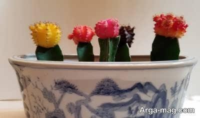 مراحل کاشت کاکتوس های رنگی