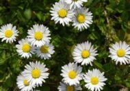 آشنایی با نحوه پرورش گل مارگریت
