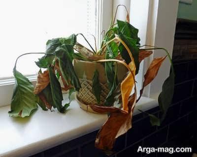 علل پژمرده شدن گیاهان