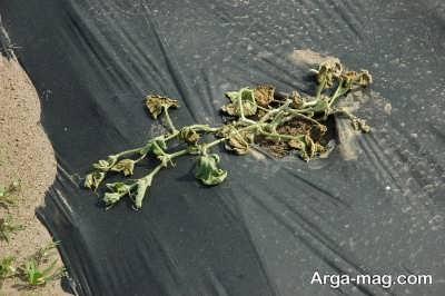 نشانه های پژمردگی گیاه
