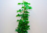 آشنایی با نحوه پرورش گل سیسوس