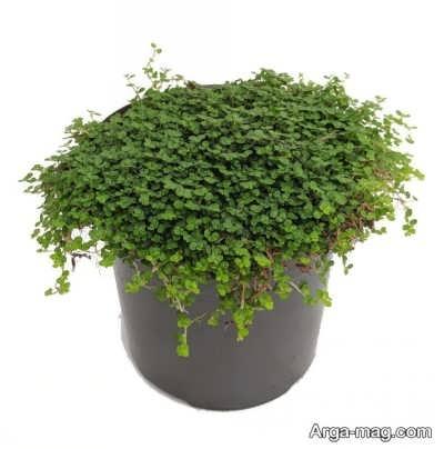 چگونگی پرورش گیاه کالیسیا