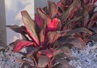 آشنایی با اصول پرورش گل کوردیلین
