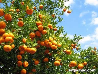 چگونگی درشت شدن میوه درختان
