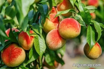 تاثیر تقسیم سلولی در میوه ها
