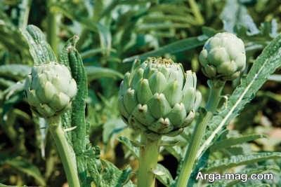 دستورالعمل پرورش گیاه کنگر