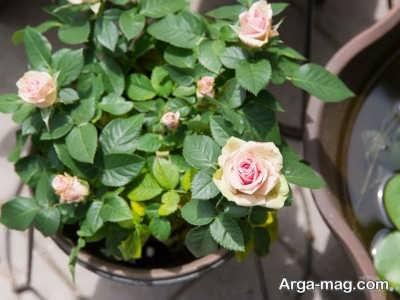 دستورالعمل پرورش گل رز