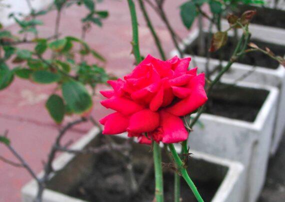 آشنایی با کاشت گل رز در گلدان