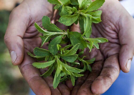 خواص گیاه استویا
