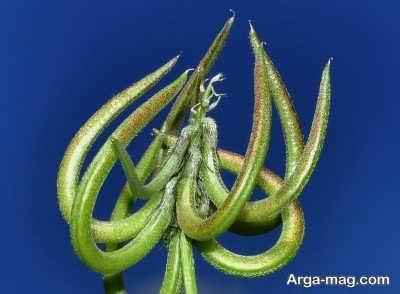 خاصیت های مهم گیاه ناخنک